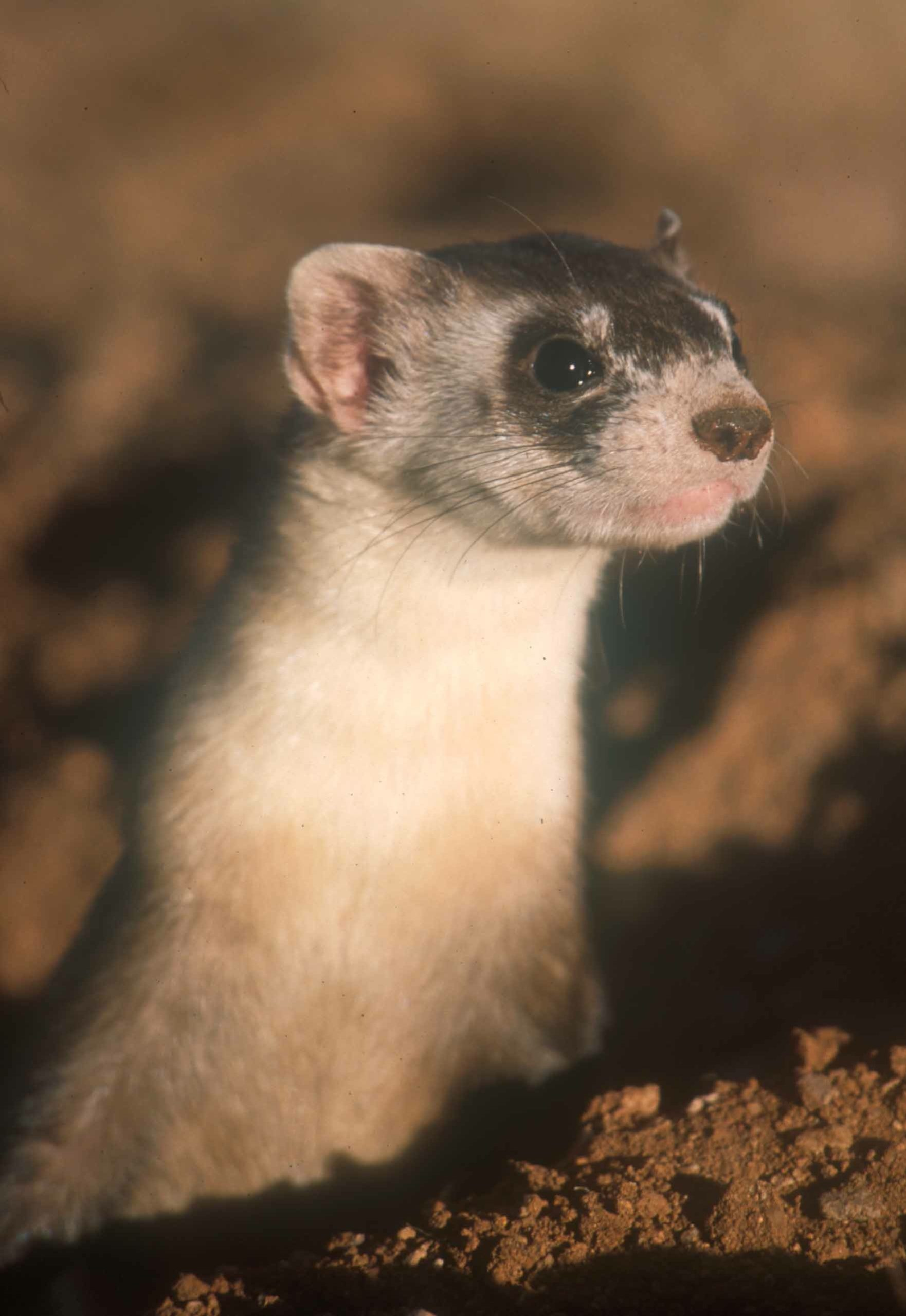 Black-footed Ferret PC Richard P Reading