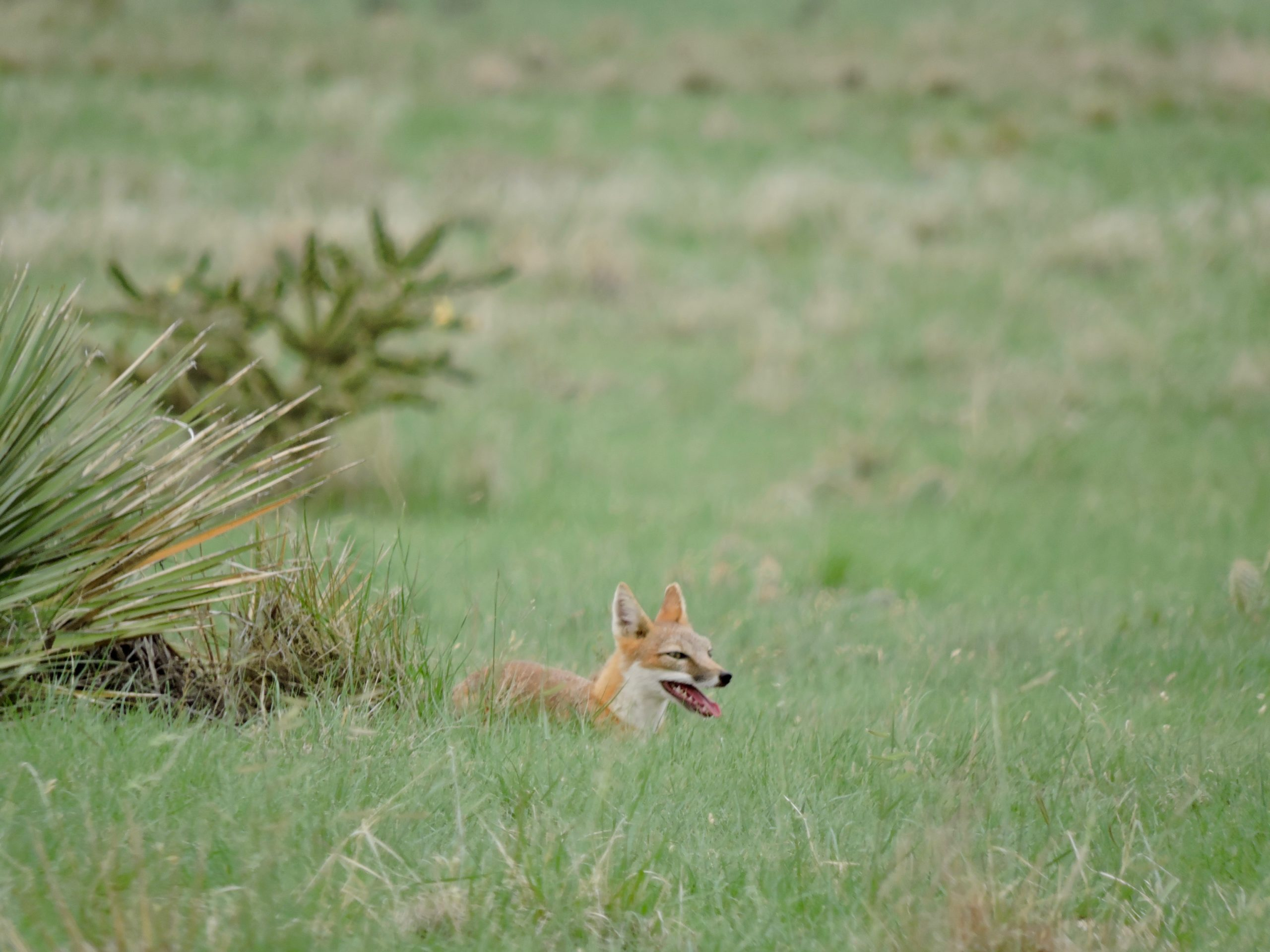 Swift fox on Medford (CREDIT SPLT)