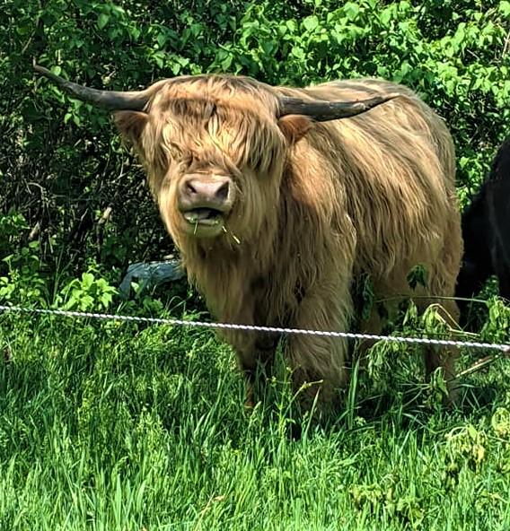 highland cow at full belly farm